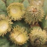 Bristly acorn cups, Quercus cerris, Taf Fechan, Oct 1971