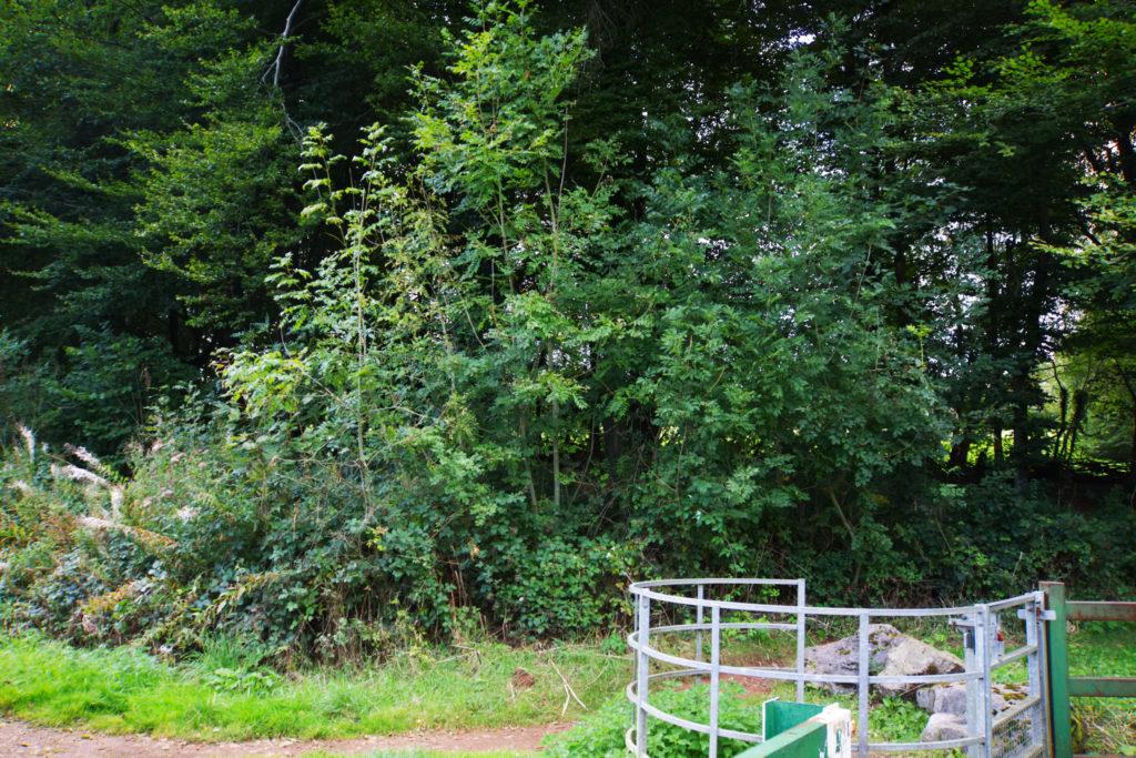 Fforest Fawr natural regeneration