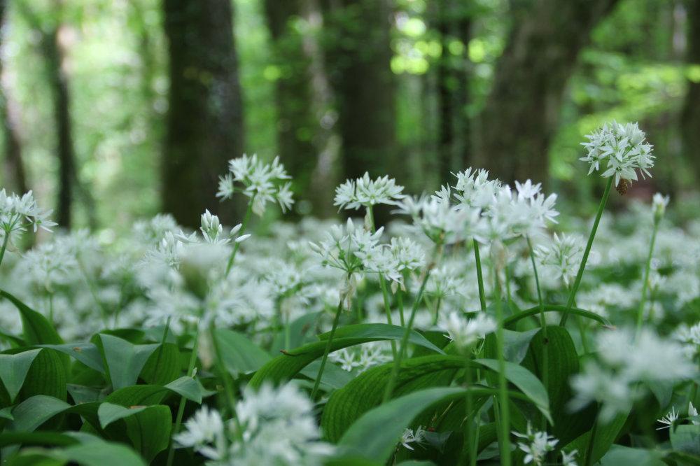 Wild garlic Fforest Ganol